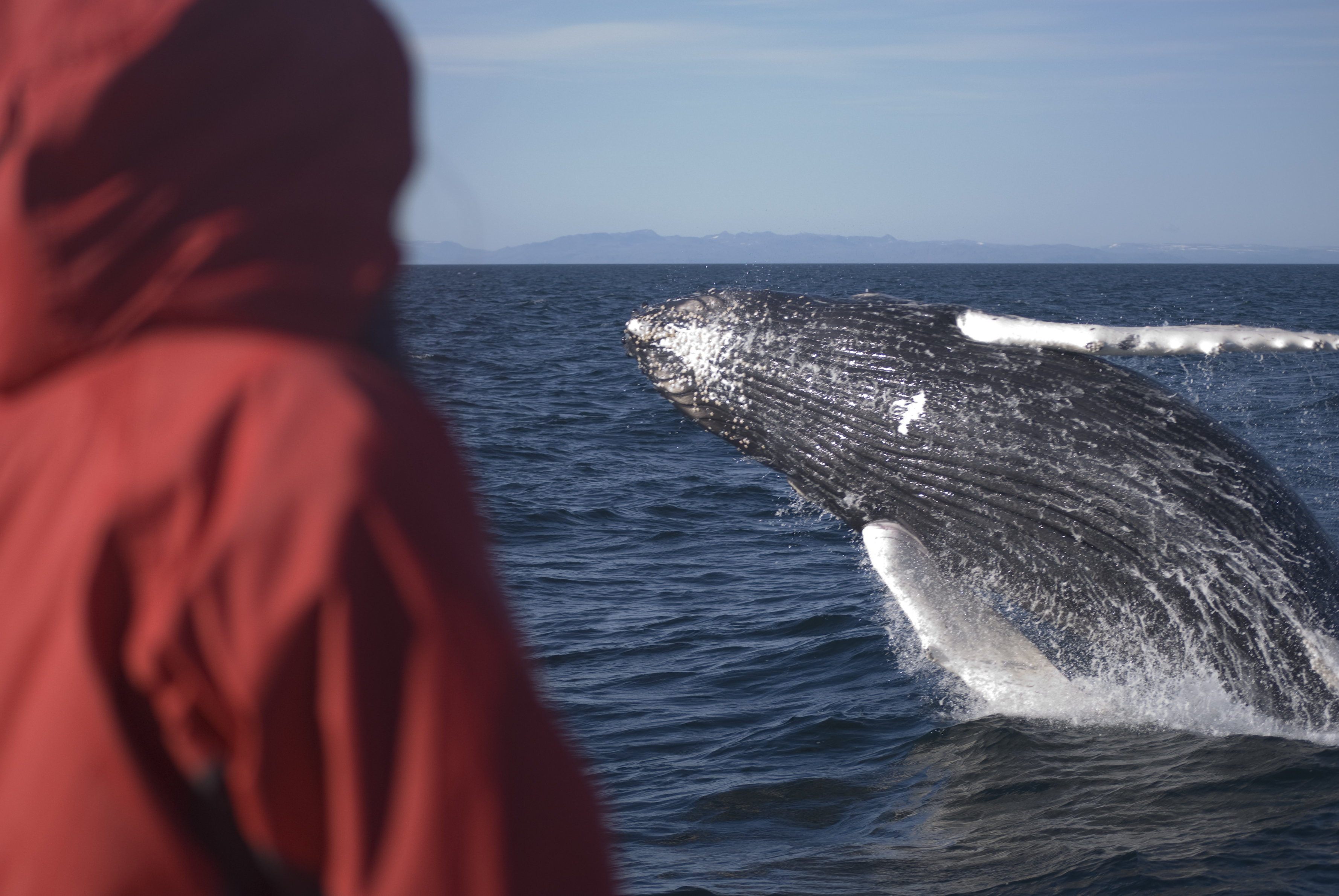 Elding Whale Watching tour